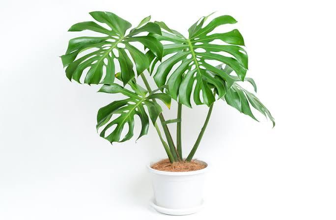 ต้นไม้ฟอกอากาศสำหรับผู้ที่เกิดวันพฤหัส