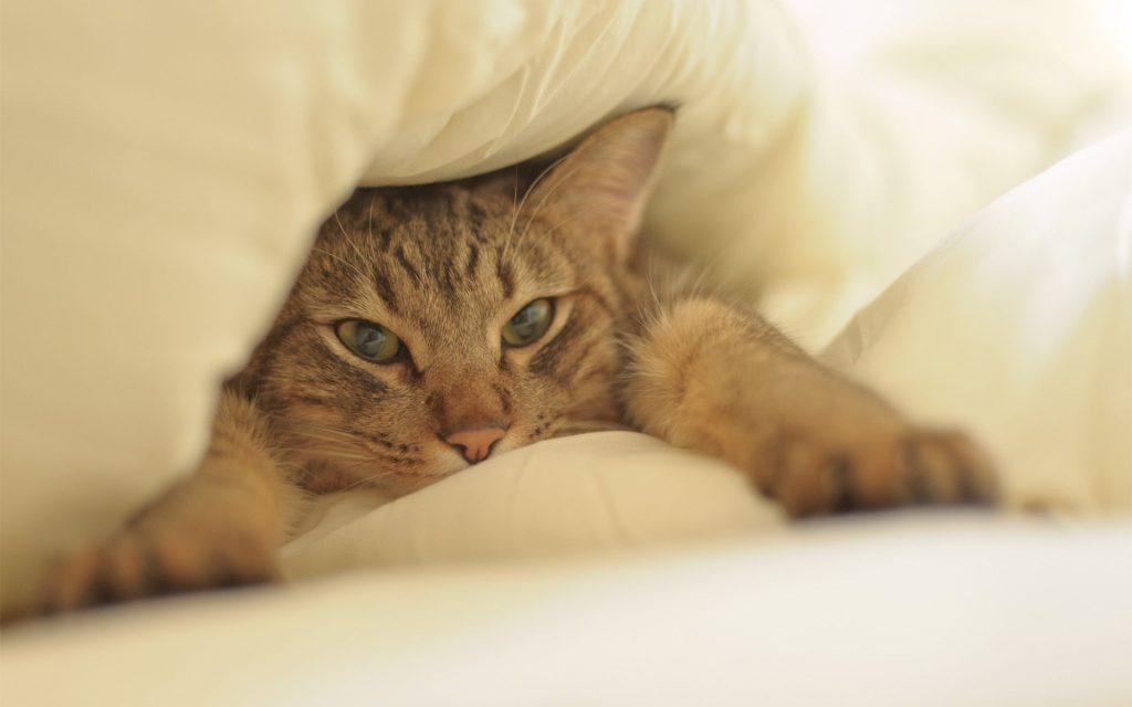 Кошка-флегматик