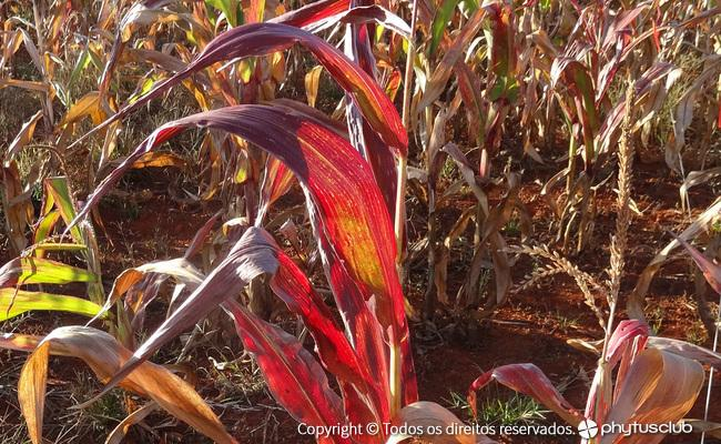 Enfezamento vermelho do milho