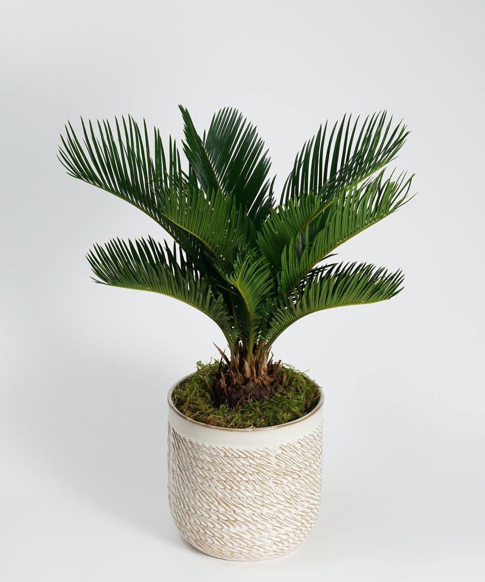 Tanaman hias Sago Palm yang beracun - source: robertsonsflowers.com