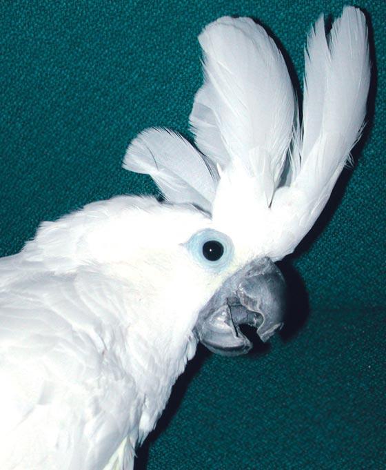 """Umbrella cockatoo exhibiting """"alert"""" display"""