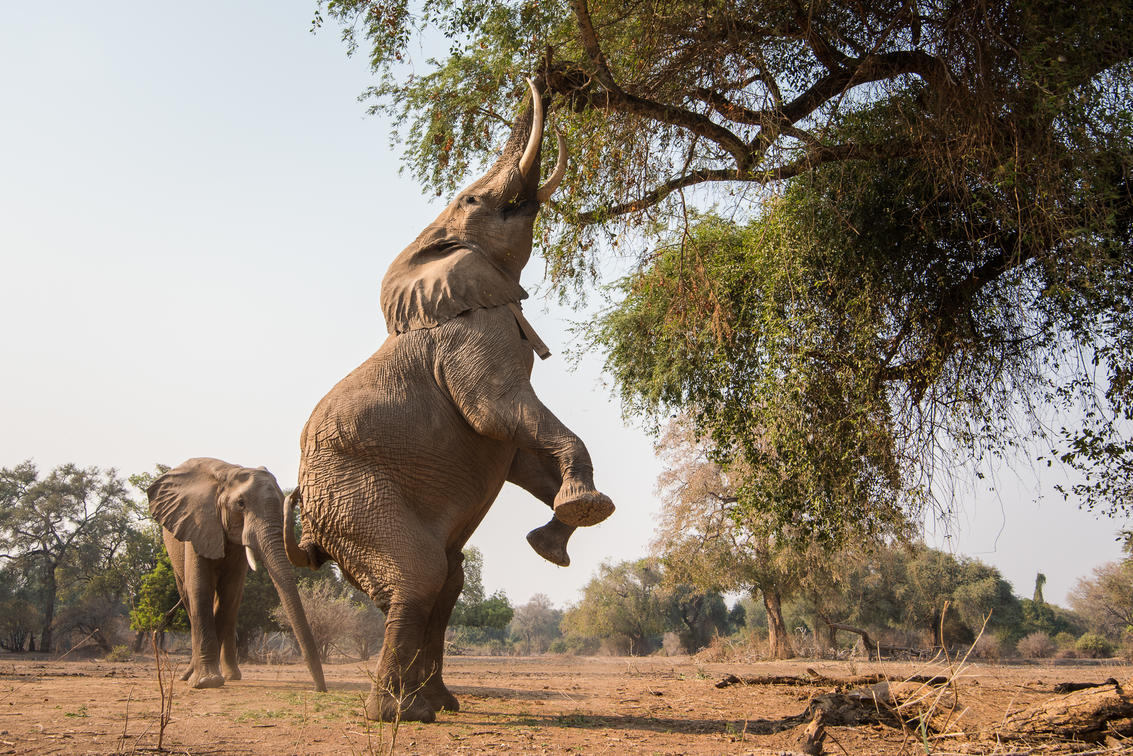 Two elephant on the hind legs trying to get figs in trees in Zimbabwe