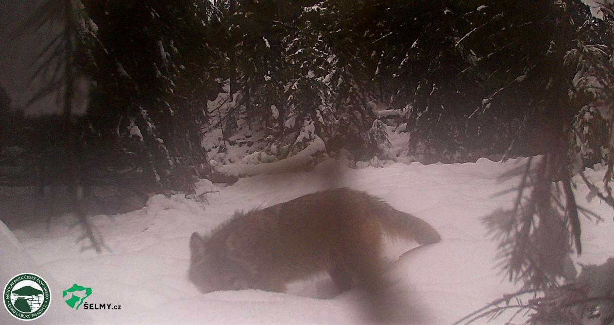 Dovádivý vlk v NPČŠ