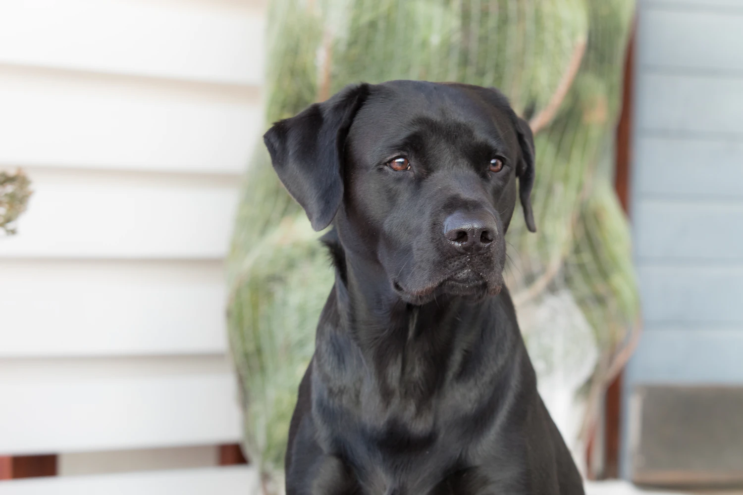 Black Lab in front of a cactus.