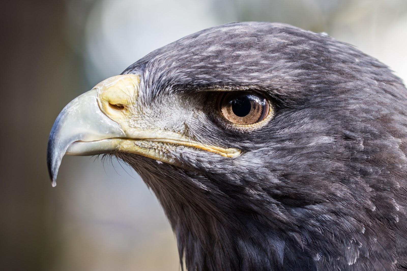 close do bico de uma aguia dourada