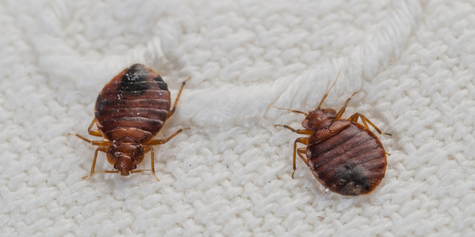 BEDBUG  CONTROL TIPS AND TRICKS by new star pest control service.