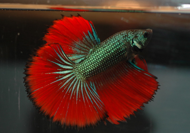 Peaceful betta imbellis