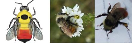 Red belted bumble bee images