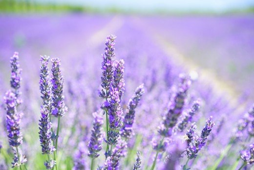 English Lavender Blossom