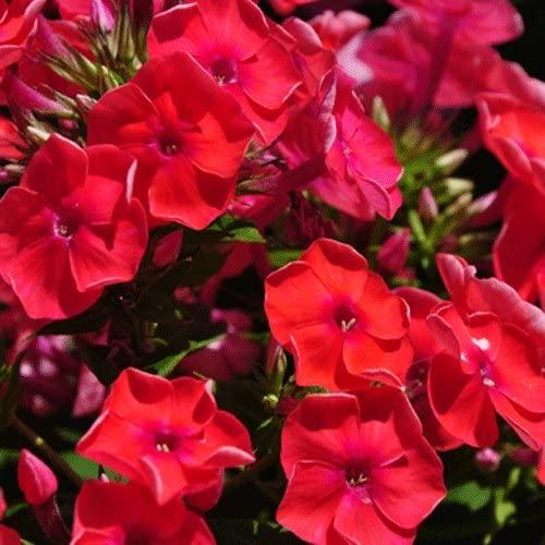 Phlox paniculata 'Red Flame' 15cm Pot Size: Amazon.co.uk: Garden & Outdoors