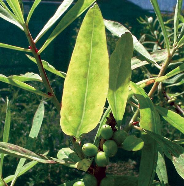 Daphne mezereum leaves / fruits.