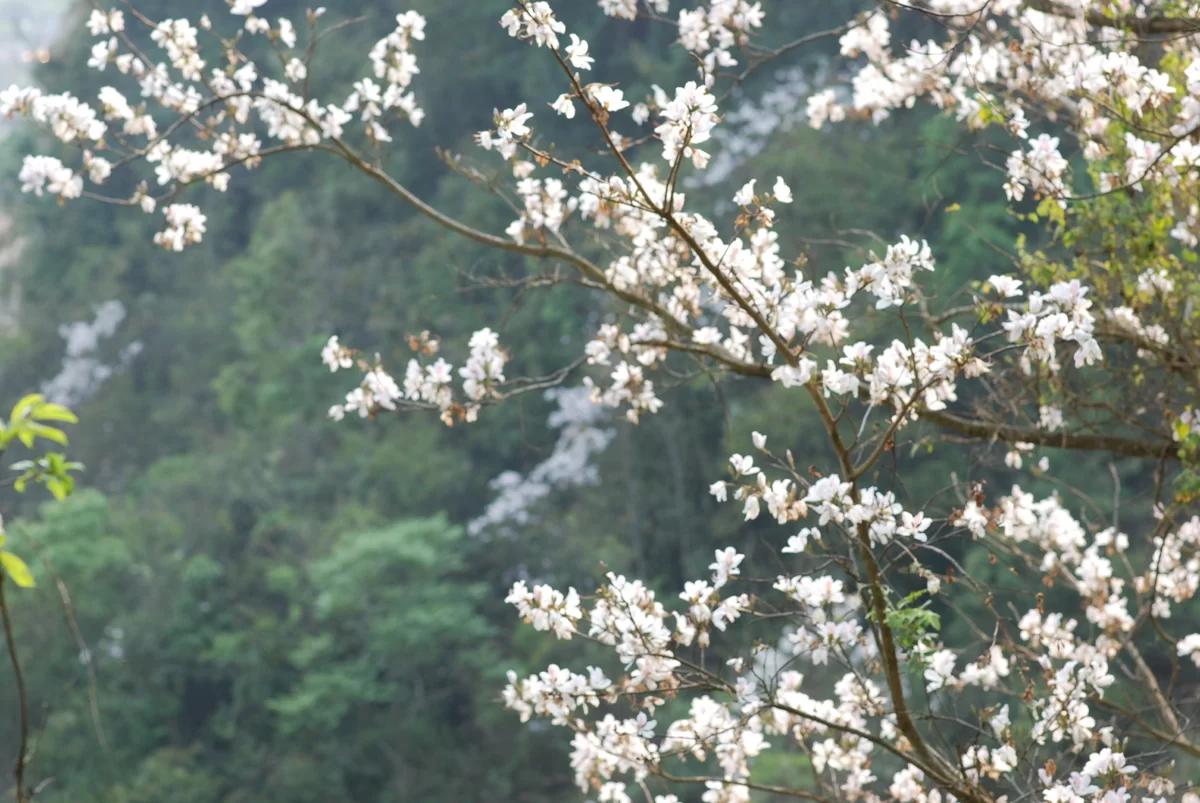 Hoa ban Tây Bắc đẹp tinh khôi giữa rừng núi