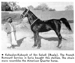 cavalo arabe koheilan