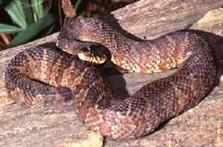 Image of adult Banded Watersnake.