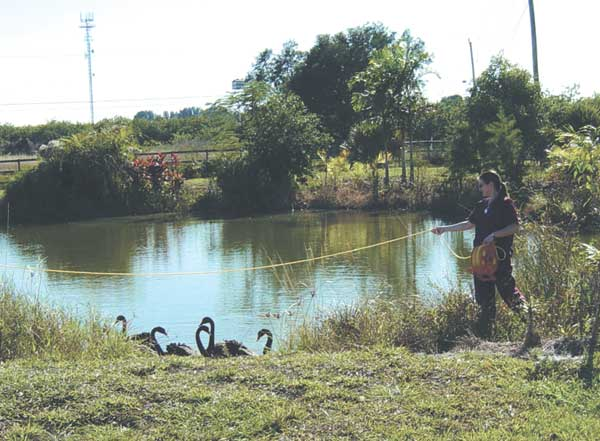 Rope-across-pond method of capturing swans: one person stands on each side of the pond holding an end of the rope
