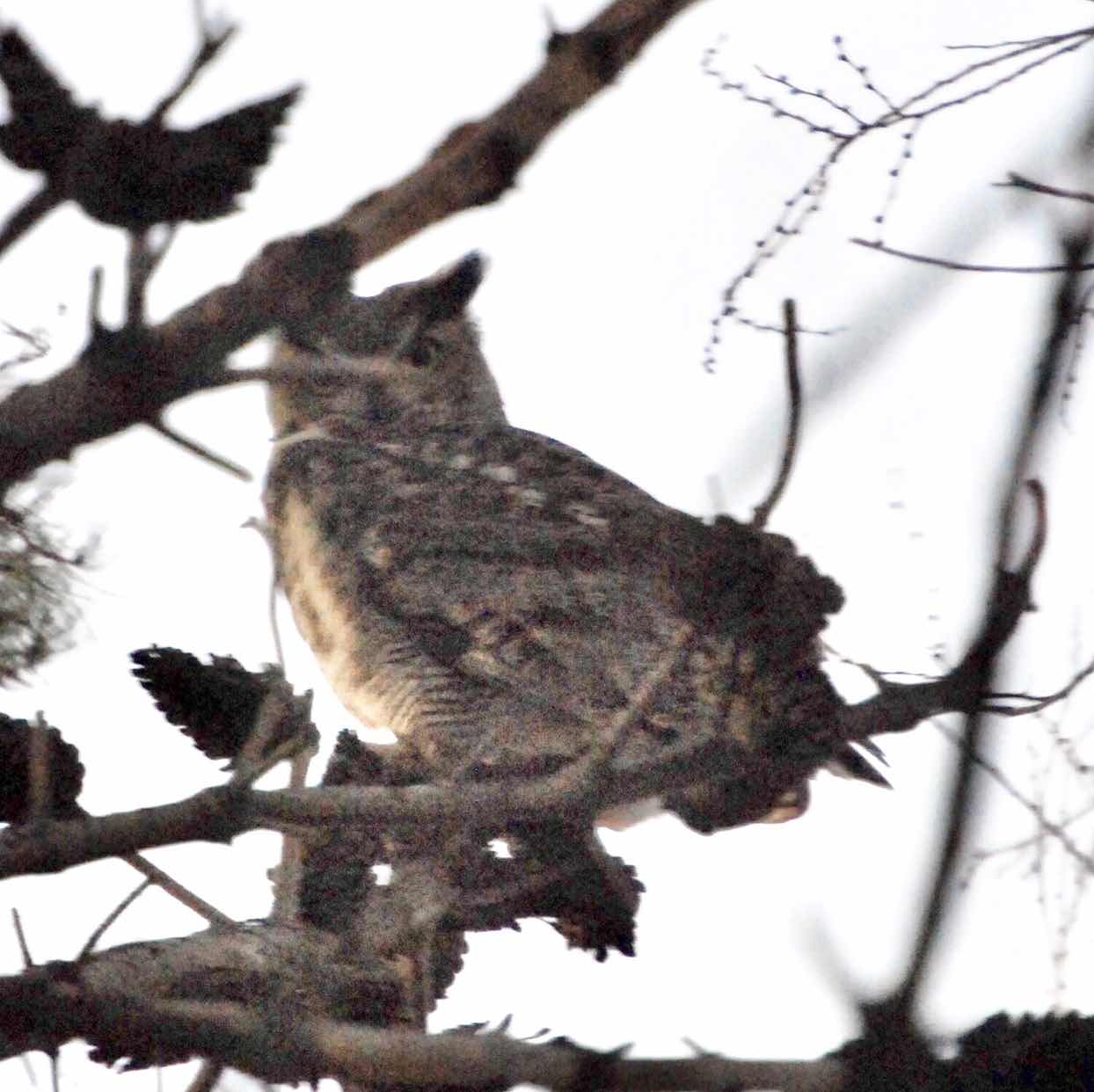 Male Great Horned Owl, El Paso Texas