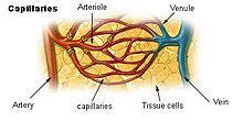 Description: http://upload.wikimedia.org/wikipedia/commons/thumb/d/da/Illu_capillary.jpg/220px-Illu_capillary.jpg
