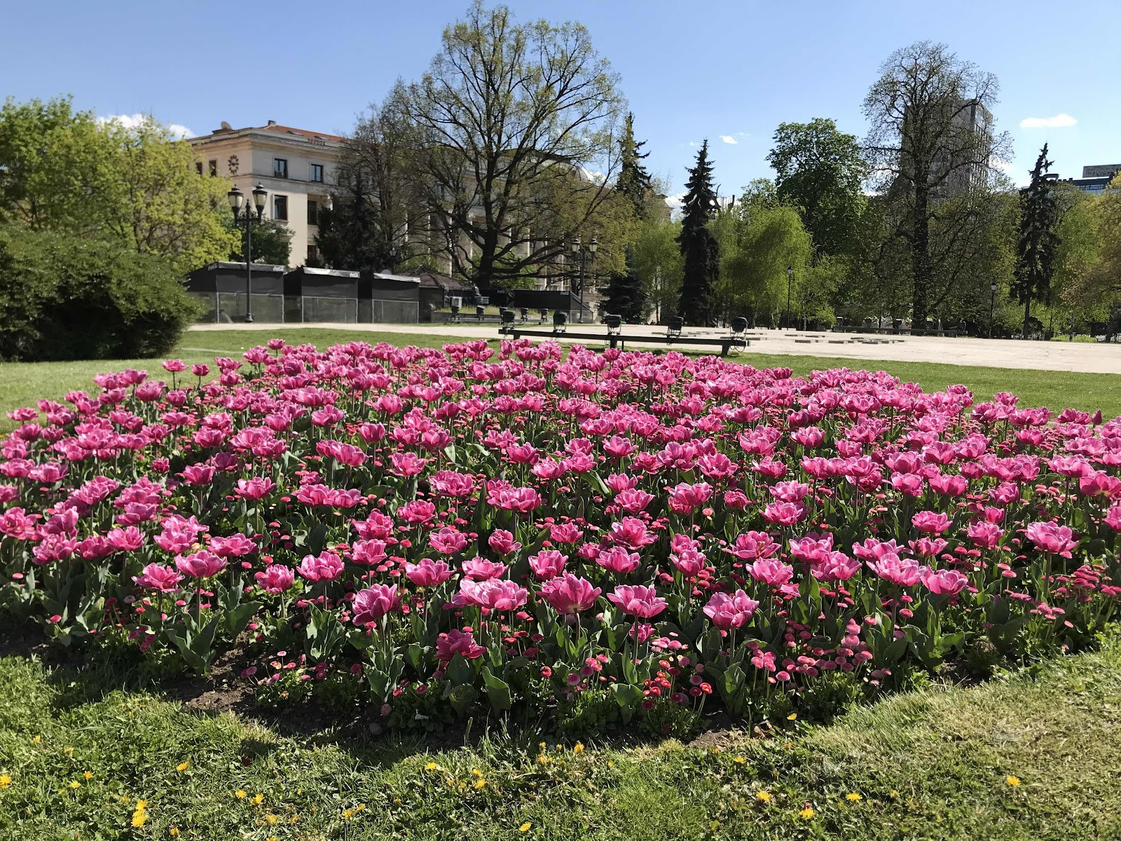 Violet tulips in Sofia City Garden