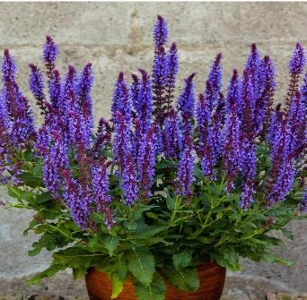 Salvia nemorosa 'Blue Field' PBR