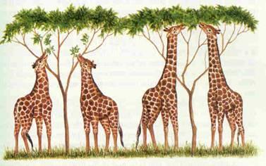 Lamarckismo: girafas esticaram seus pescoços para alcançar árvores maiores e, depois de ficarem com os pescoços mais compridos, seus filhos passaram a nascer com o pescoço mais comprido