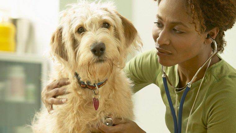 Veterinarian Listening to Scruffy Dog's Heart