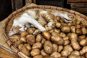 Can cats eat potato peel