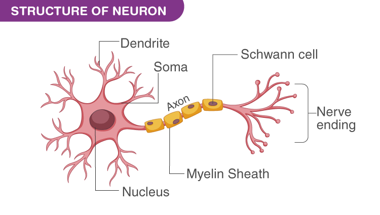 What Is a Neuron? - Definition, Structure, Parts and Function