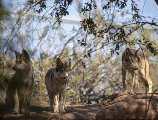 Mexican gray wolf at Phoenix Zoo.