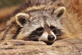 foto: Alexas_Fotos, https://pixabay.com/hu/mosómedve-vadon-élő-állat-furry-2186614/