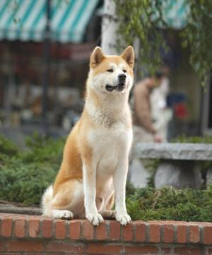 Image result for Hachiko