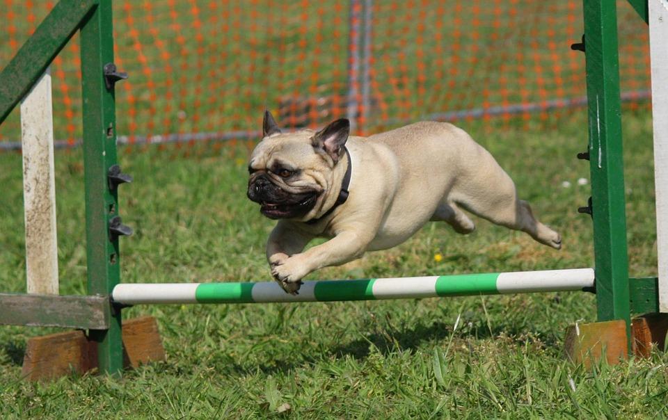 Free photo: Dog, Pug, Training, Jumping, Breed - Free Image on ...