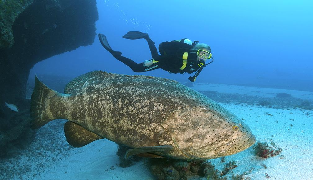 atlantic_goliath_grouper.jpg