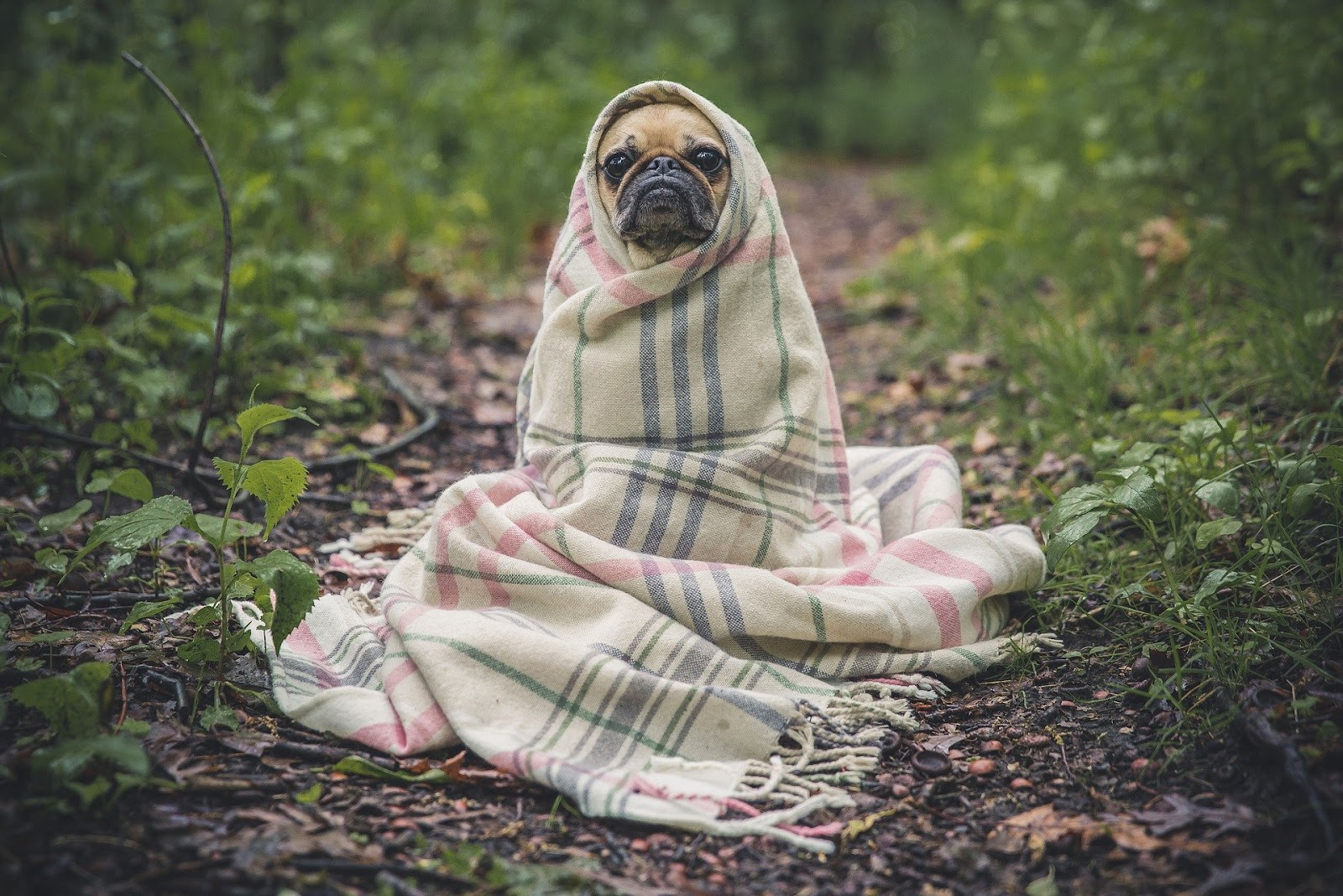 pug wrapped in blanket at inspire pensacola apartments near ferry pass