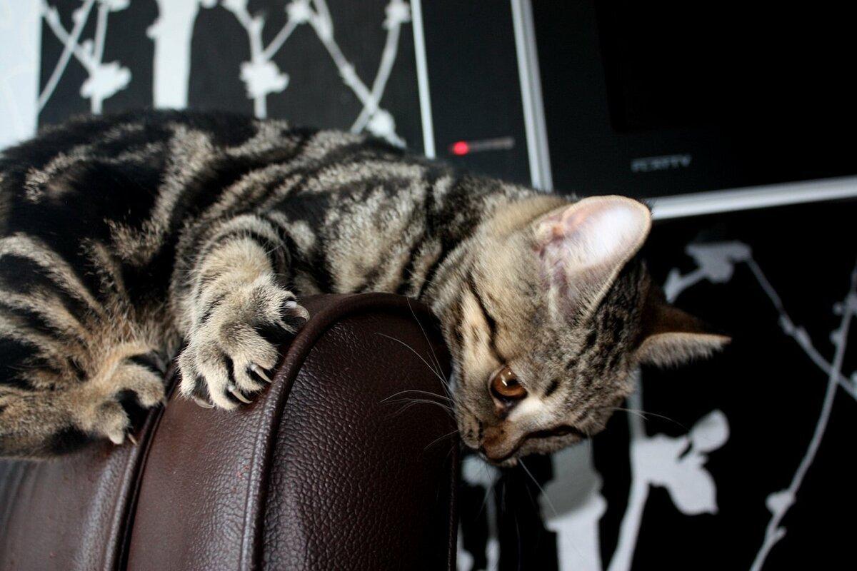 Как защитить диван от кота