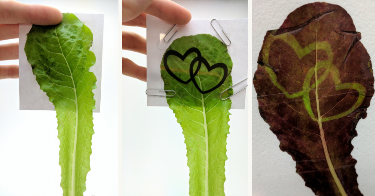 Stencils are applied to the green light-treated leaves. Blue or white light can be applied to induce cell-autonomous accumulation of anthocyanins.