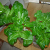 20 week splasher lettuces about to retire
