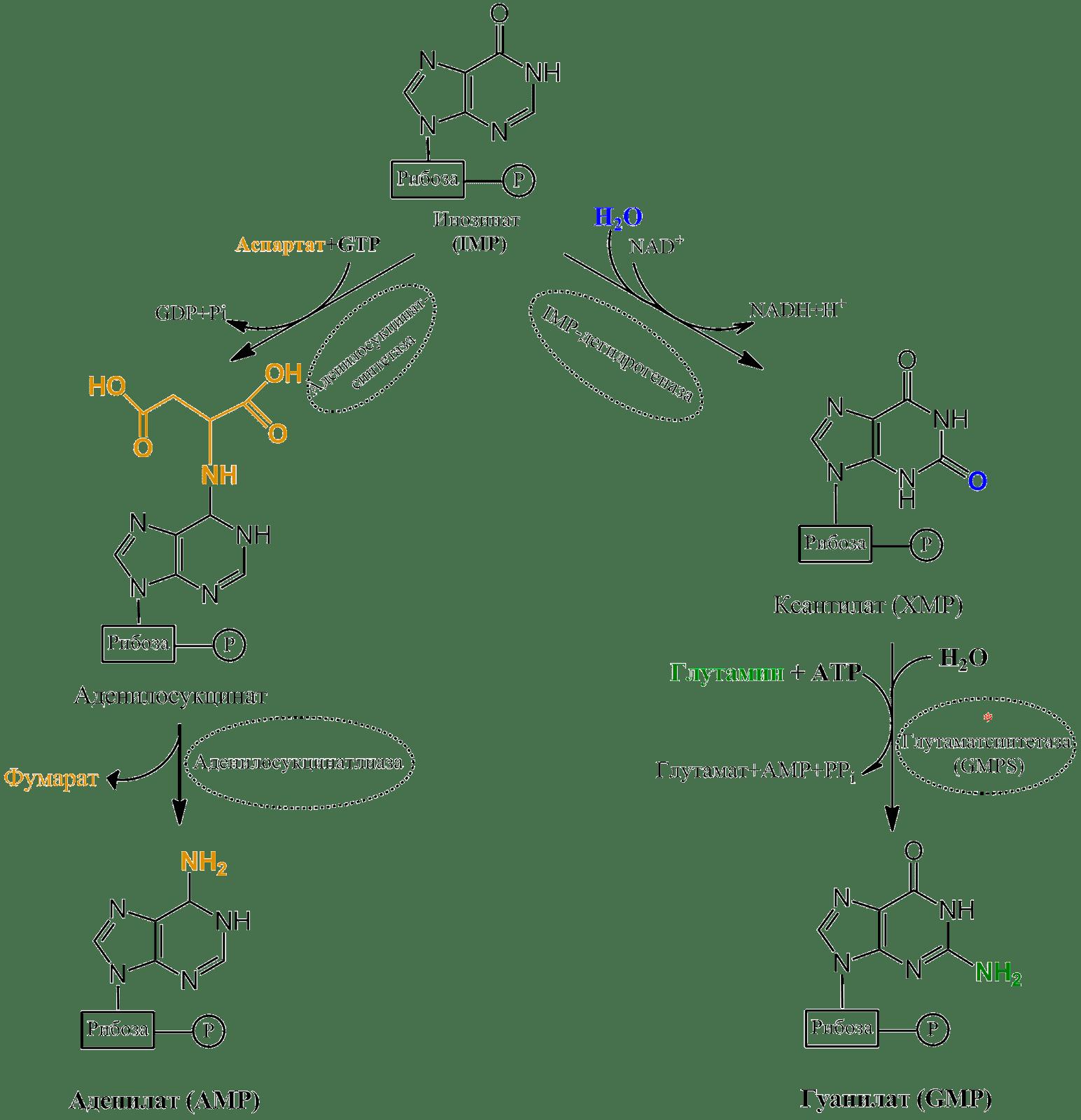 аденилат из инозината.png