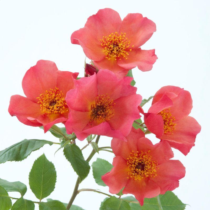 английская роза MORNING MIST