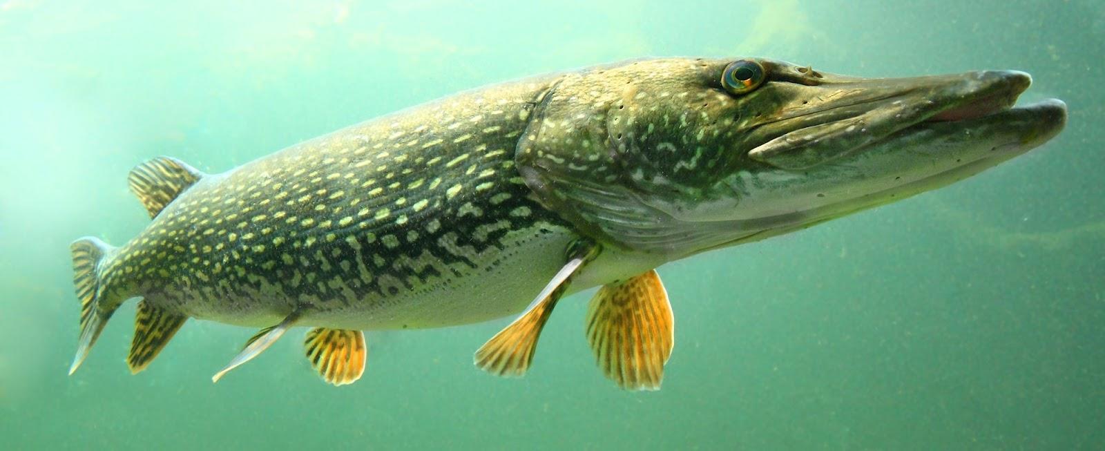 Ловля на донку хищной рыбы