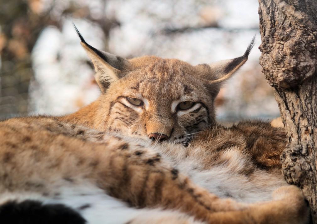 Iberian lynx sleeping