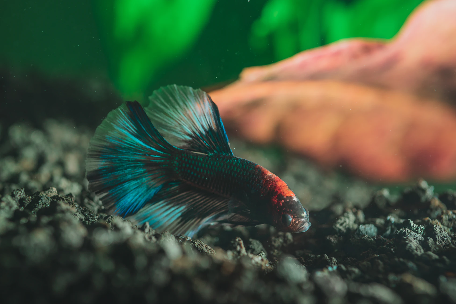 Betta fish swimming at tank bottom