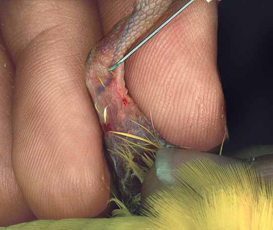 Placing an indwelling catheter in the medial metatarsal vein on a lovebird's leg