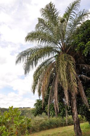 Macaúba (Foto: DoDesign-s)
