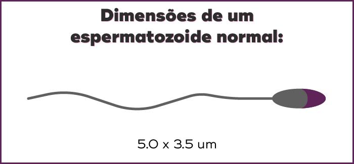 dimensões de um espermatozoide normal