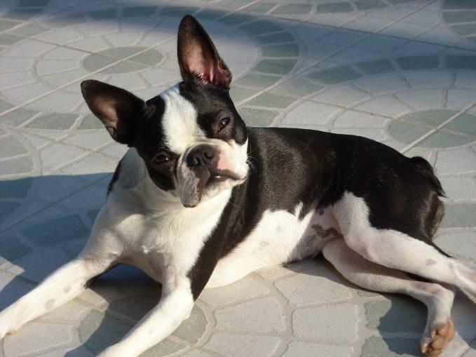 Razas de perros braquicéfalos