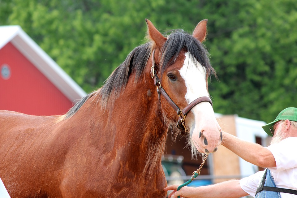 Inspecting the best draft horse for sale
