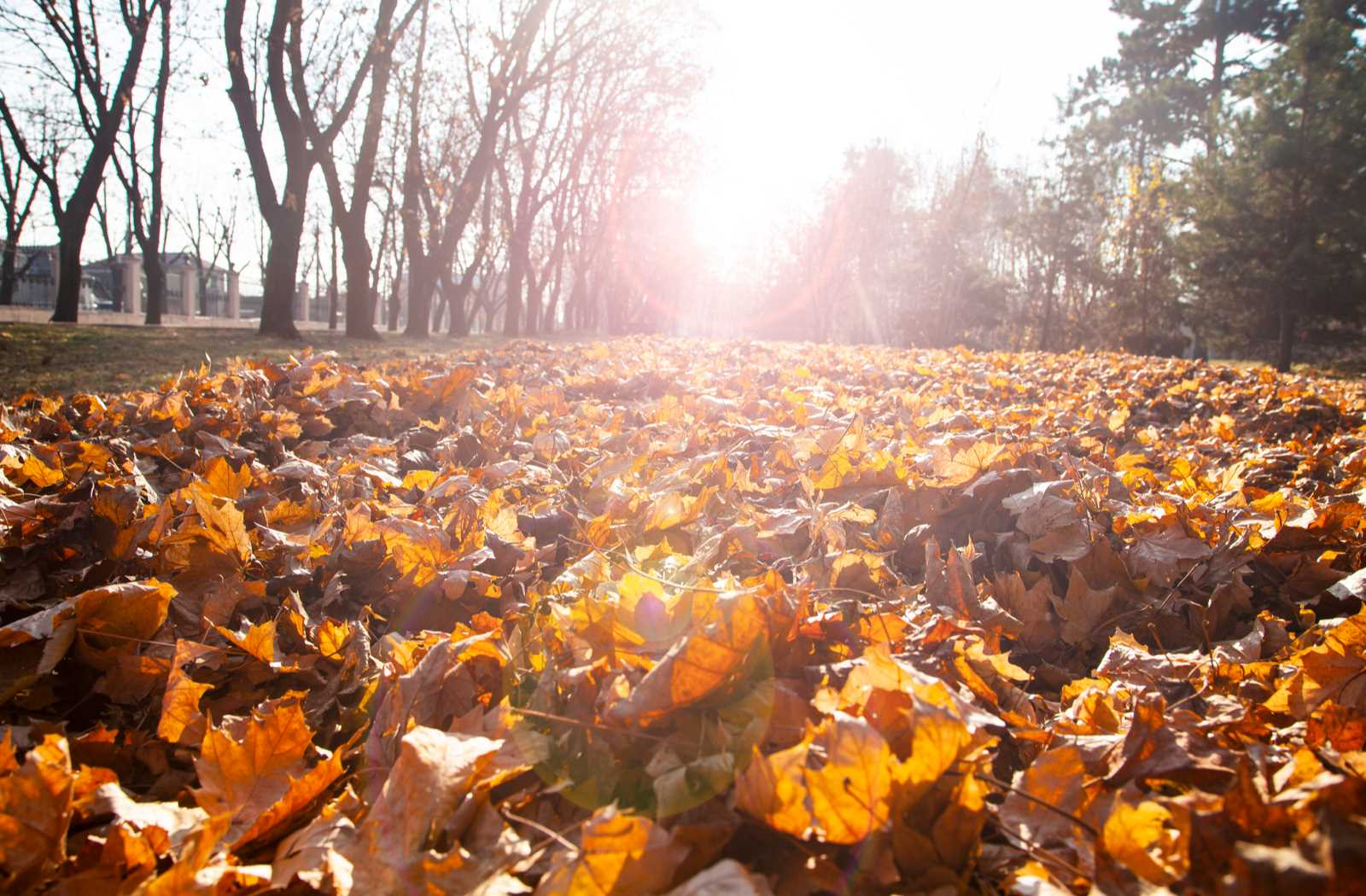 autumn leaves at golden hour by trees