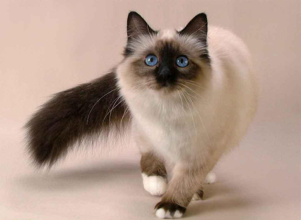 Image result for siamese cats