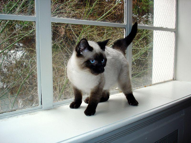 File:Seal Point Siamese Kitten.JPG