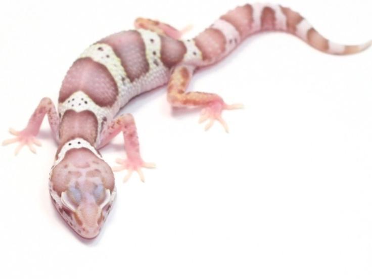 Image result for albino leopard gecko